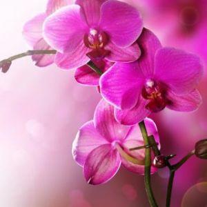 fushia orchids
