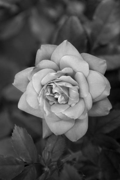Shades of a Rose